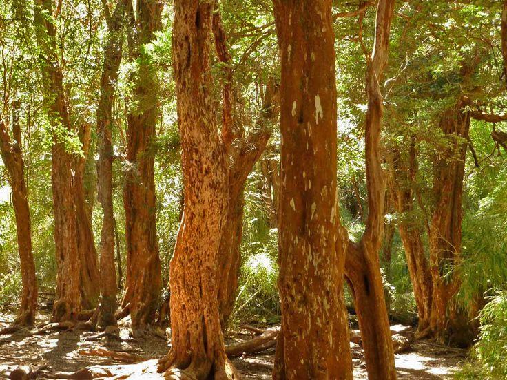 kanel træ